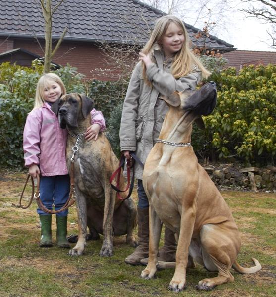 Deutsche Doggen vom Nordstern Kessy